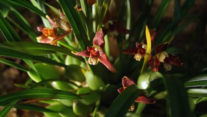 04 Maxillaria tenuifolia 1