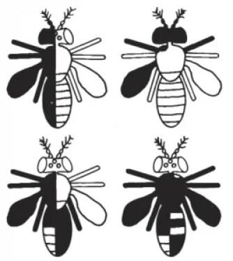 Typowe mozaiki gynadomorficzne występujące u Drosophila