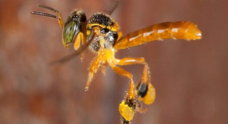 μέλισσα στρατιώτη