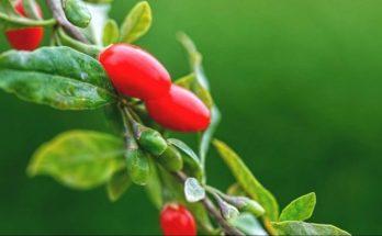 goji berries hellas