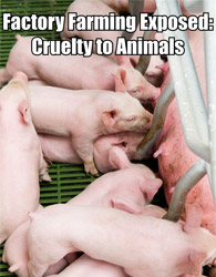 Factory Farming Exposed: Cruelty to Animals
