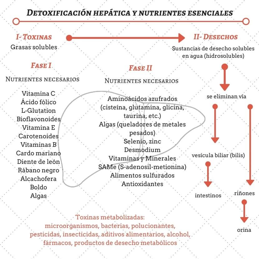 Fases de la detox hepática-Bionutrición Ortomolecular