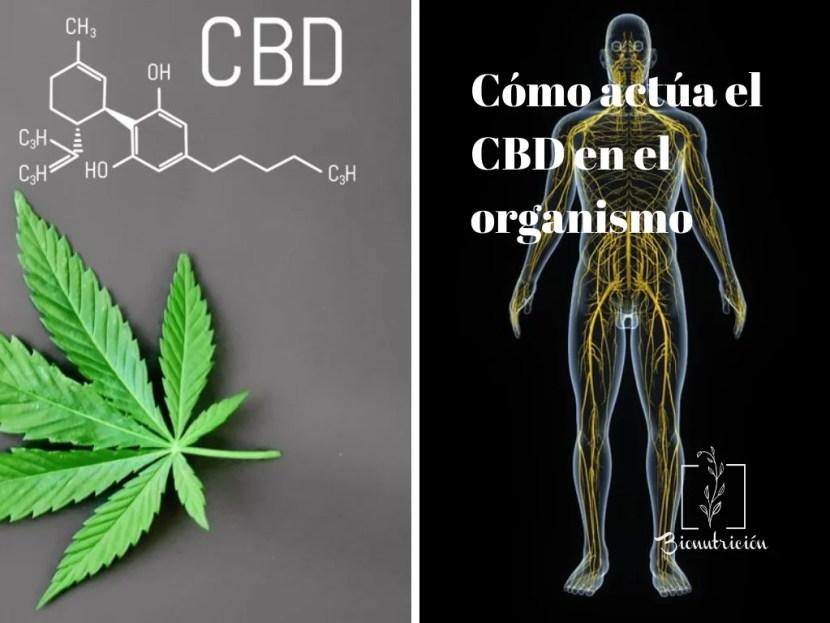 Cómo actúa el CBD en el organismo