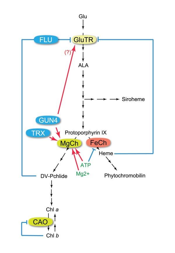 Tetrapyrrole Metabolism in Arabidopsis thaliana