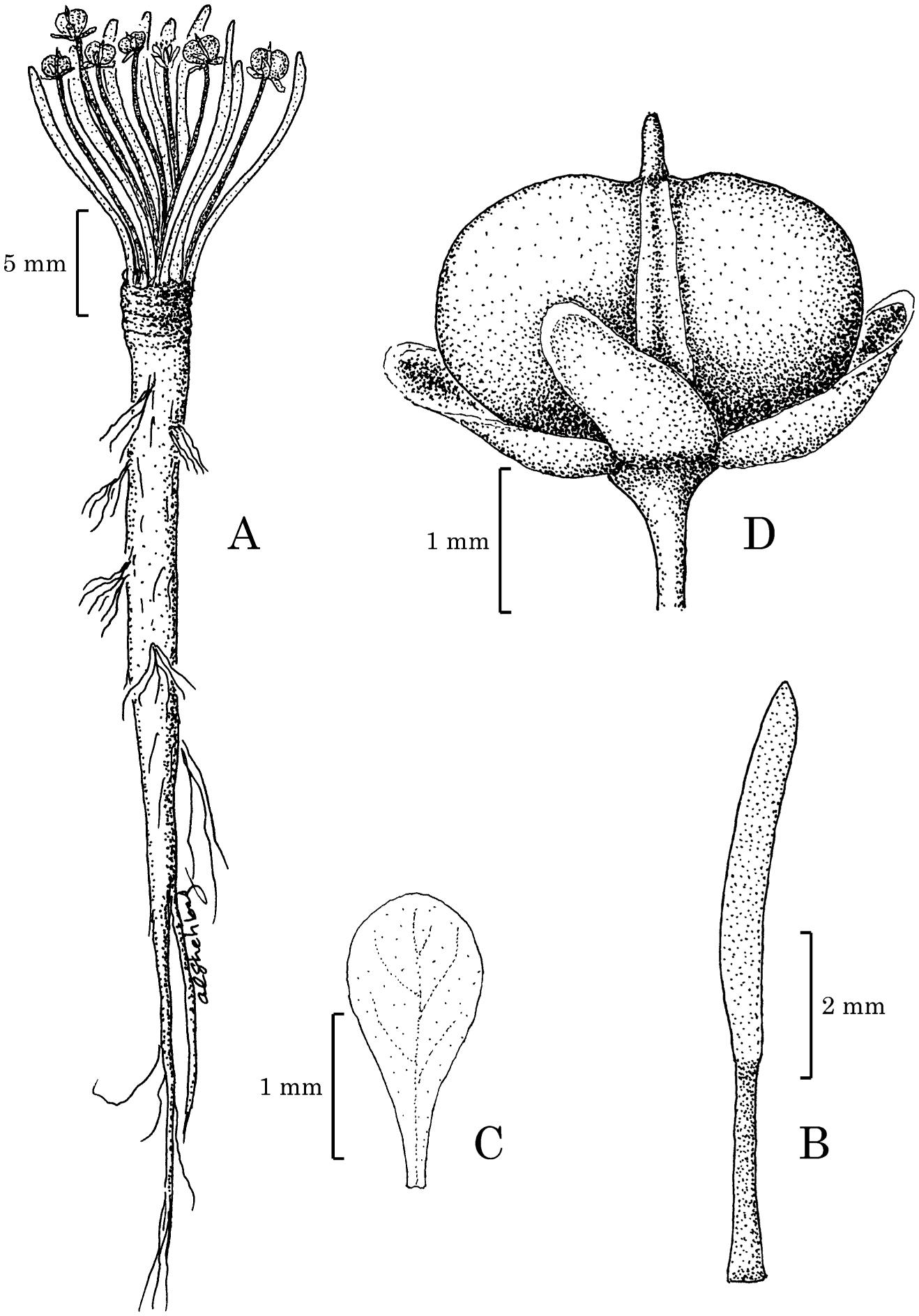 Englerocharis Dentata And Eudema Peruviana Brassicaceae