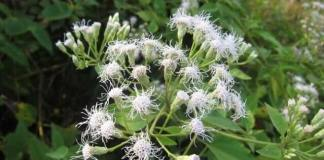 Phytodermatitis and Aromatic Plants