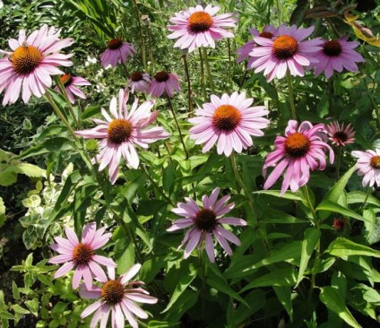 Echinacea Purpurea The Amazing Natural Remedy