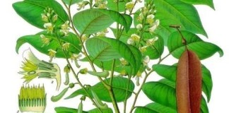 Tolu Balsam – Medicinal Herbal Plants With Exotic Floral Fragrances