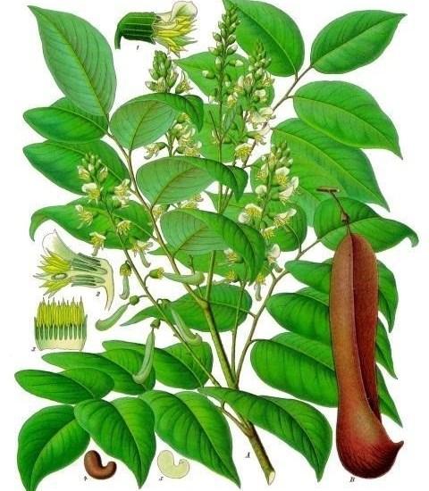 Tolu Balsam – Medicinal Herbal Plants With Exotic Floral Fragrances