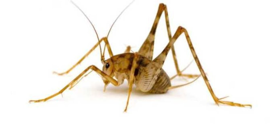 camel crickets degrade plastics