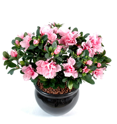 azalee-plante-depolluante