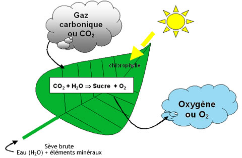 plantes-depolluantes-photosynthese