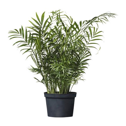plantes-depoluantes-chamaedorea-elegans