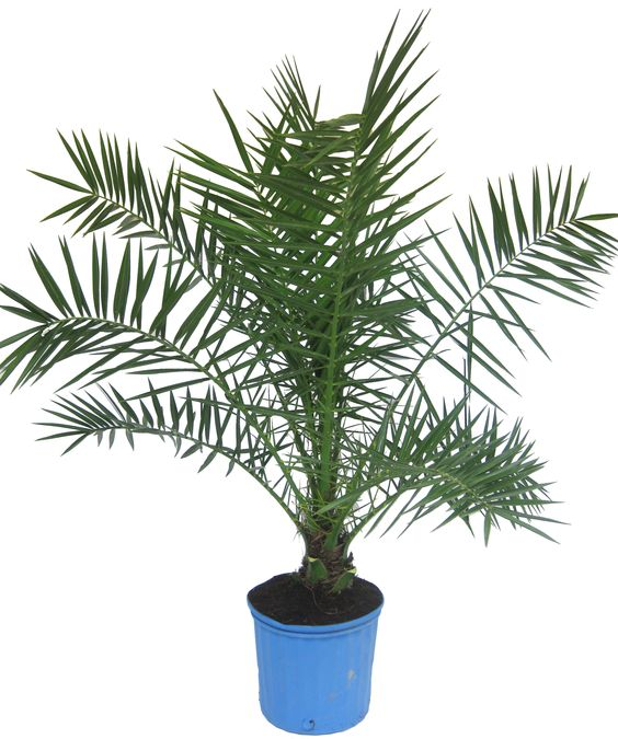 plantes-depoluantes-p-roebelenii