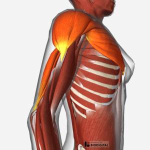 Bio-digital-chest-elbows wide