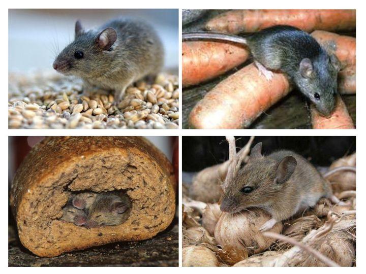 Домовые мыши распространились по миру благодаря человеку