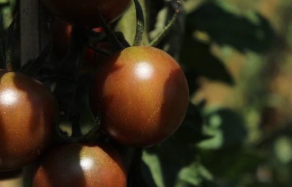 Pomodoro ciliegino nero-black cherry
