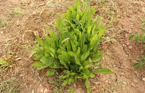 Cicoria scattatora di Ostuni (antica varietà)