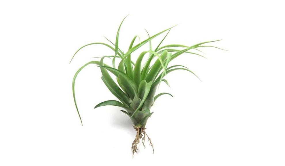 10 Plantas que Purificam o Ar de Sua Casa - Clorofito