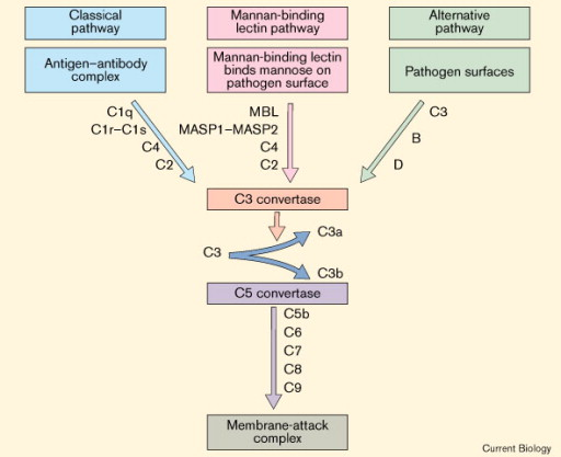 Pathways of Complement Activation – Biotech Khan
