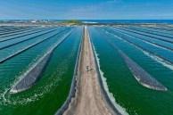Cultivos de microalgas en estanques abiertos.