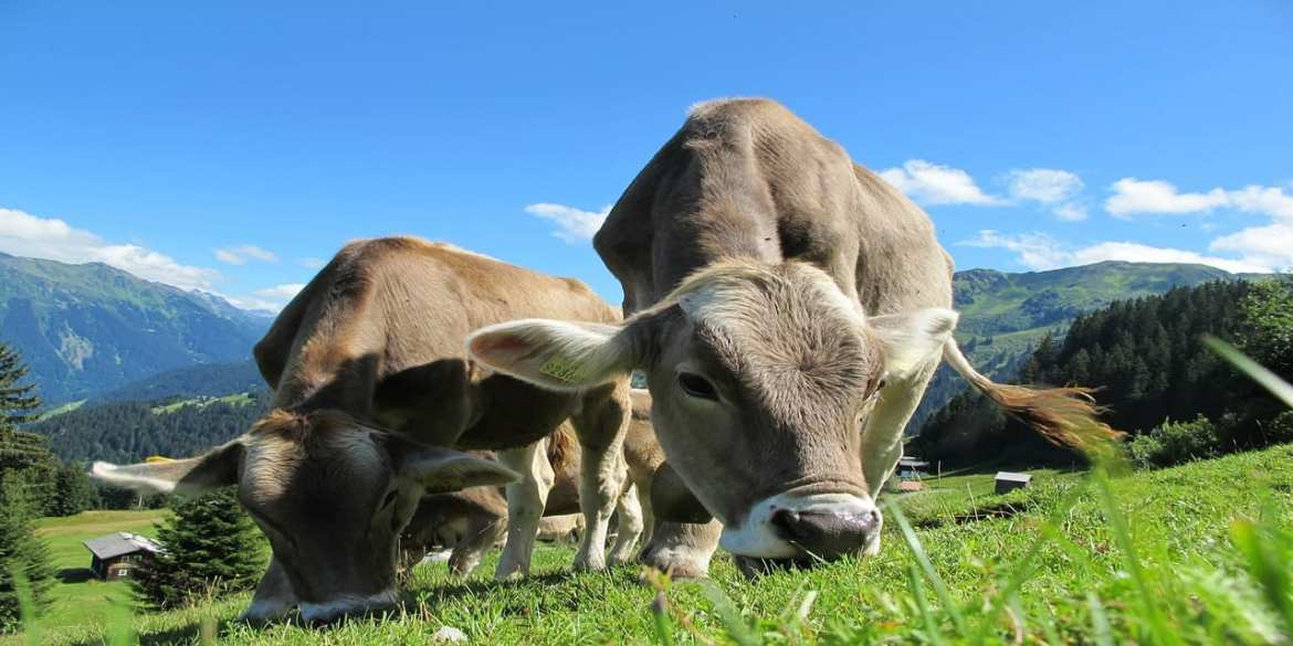 Genetically Modified Cows