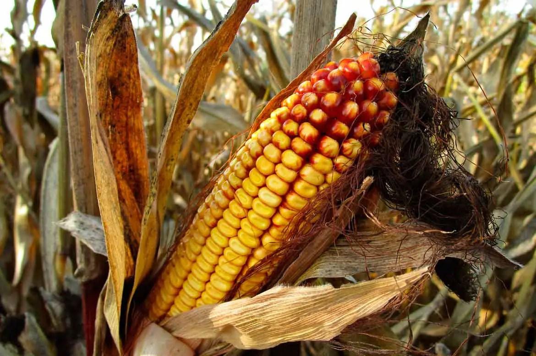 Disease resistant Maize