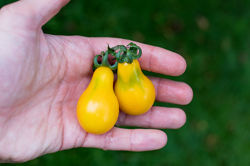 Yellow Pear Tomate