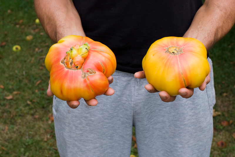 Tomate Hillbilly