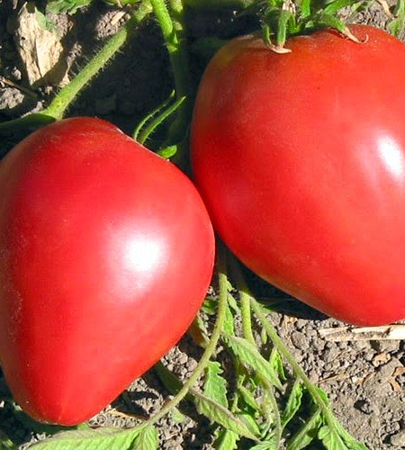 Tomate Oxheart Pink
