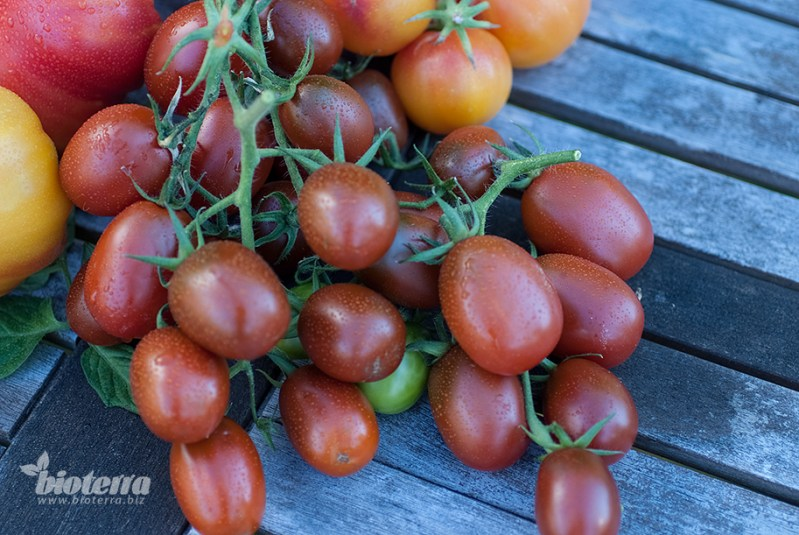 Ukraine Purple Tomate