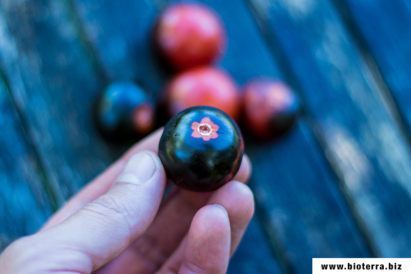 Indigo Rose Tomate