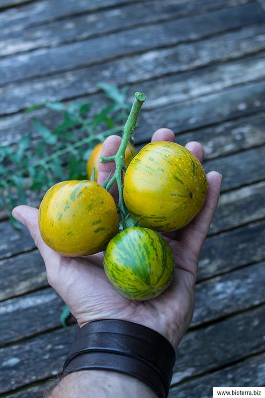 Lucinda Tomate