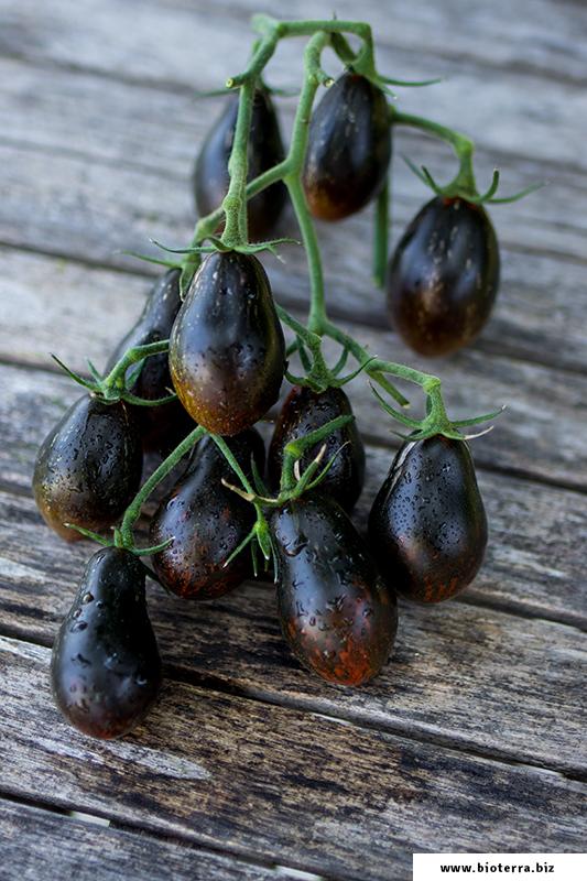 Blue Keyes Tomate