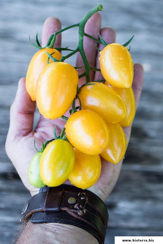 Tomate Blush