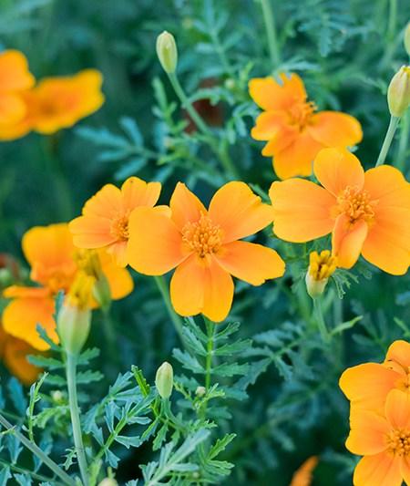Orangen Tagetes