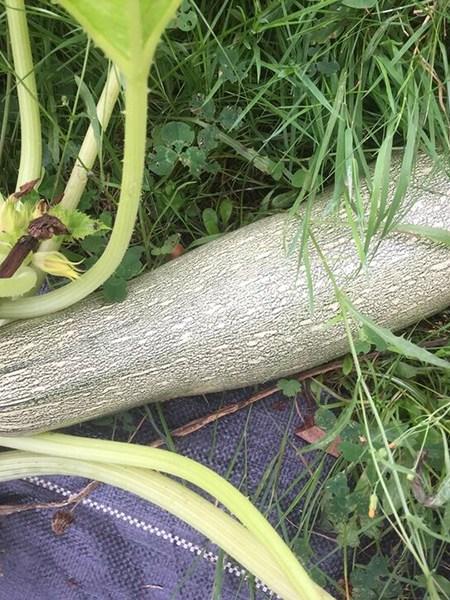 Zucchini Alberello