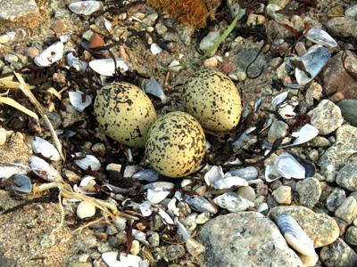 Гнездо кулика-сороки