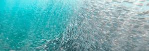 School of fish © Matthew T Rader (pexels.com)