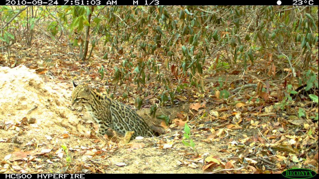 Ocelot hanging out in the burrow of a giant armadillo (Priodontes maximus).