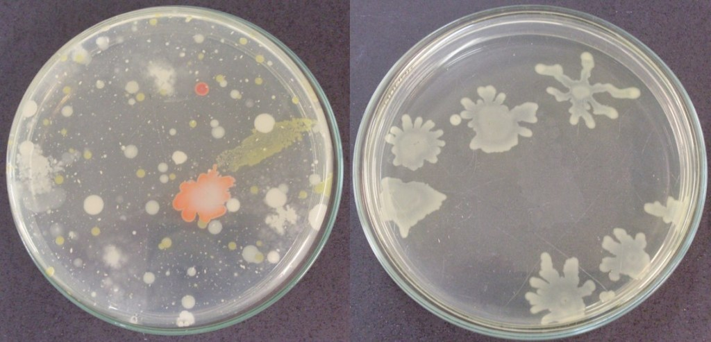Figure 5. Colony-forming units of bacteria from Bromelia balansae phyllosphere (photo credit: MSc. Ana Gonçalves).