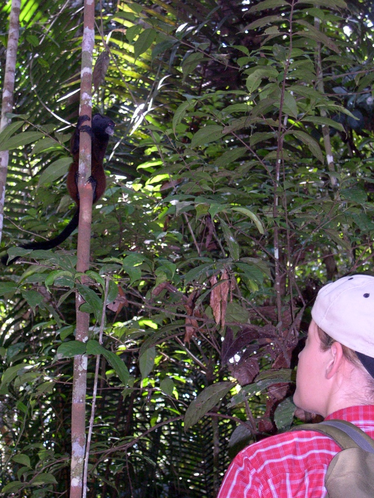 Heyman et al. 2014. Observation of a tamarin at close range. Due to the continuous presence of field researchers and assistants, our tamarin study groups are extremely well habituated and allow for observation at very close range. (Photo: E.W. Heymann).