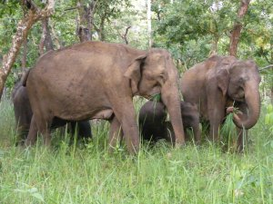 Wilson et al. 2014. In this study a trunksful of grass was defined as the number of trunksful of grass or browse that the focal elephant gathered with its trunk and put into its mouth. Here, a herd of elephants is seen feeding on grass in a Lantana camara-free area of Mudumalai Tiger Reserve. (Photo credit: Gaius Wilson).