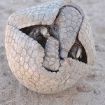The Brazilian Three-banded armadillo Tolypeutes tricinctus, the official mascot of the 2014 FIFA World Cup. It's habitat is the Caatinga drylands of Northeastern Brazil. Among the most threatened tropical dry forests of the world, the Caatinga has now been reduced to 53 percent of its original area. Besides strong pressure from subsistence hunting, T. tricinctus also experiences the loss of habitat due to the use of the vegetation for industrial and domestic fuelwood and conversion for livestock ranching. (Photo credit: J. A. Siqueira).