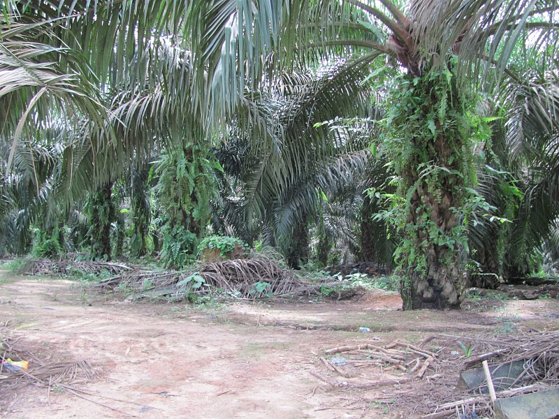 Oil palm plantation, East Kalimantan (2010)