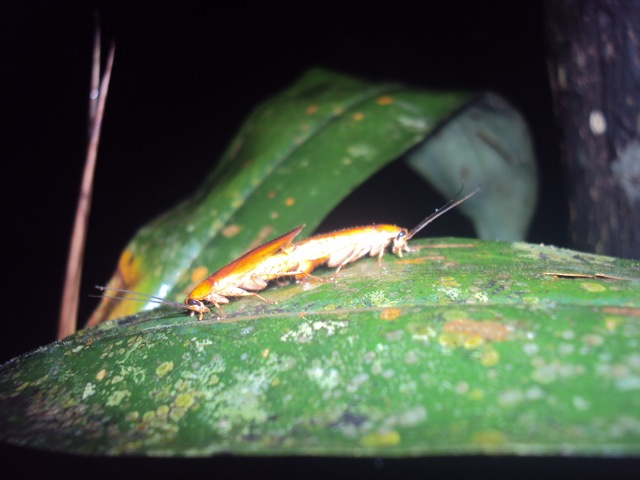 Tarli et al. Cockroaches of the Ducke Reserve, Amazonas, Brazil.