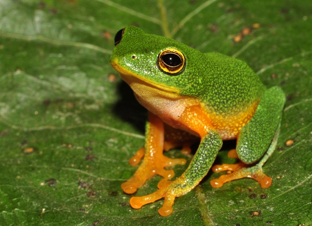 Raorchestes bobingeri (Bob Inger's Bush Frog) (photo by K S Seshadri)