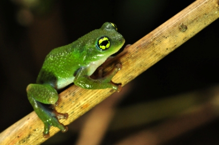 Raorchestes chalazodes (photo by K S Seshadri)
