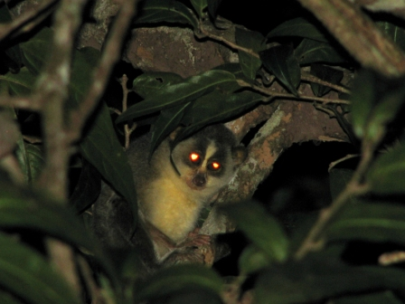 Slender Loris encountered during field work (photo by K S Seshadri)