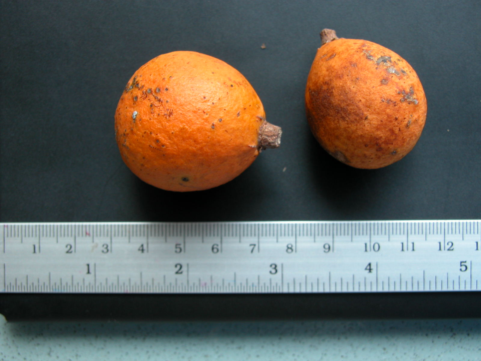 The fruit of the liana Salacia chinensis. Photo by Chanpen Saralamba